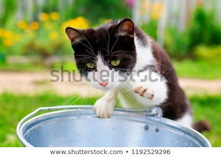 a funny cat in a summer garden curiously looks into a metal bucket of water and