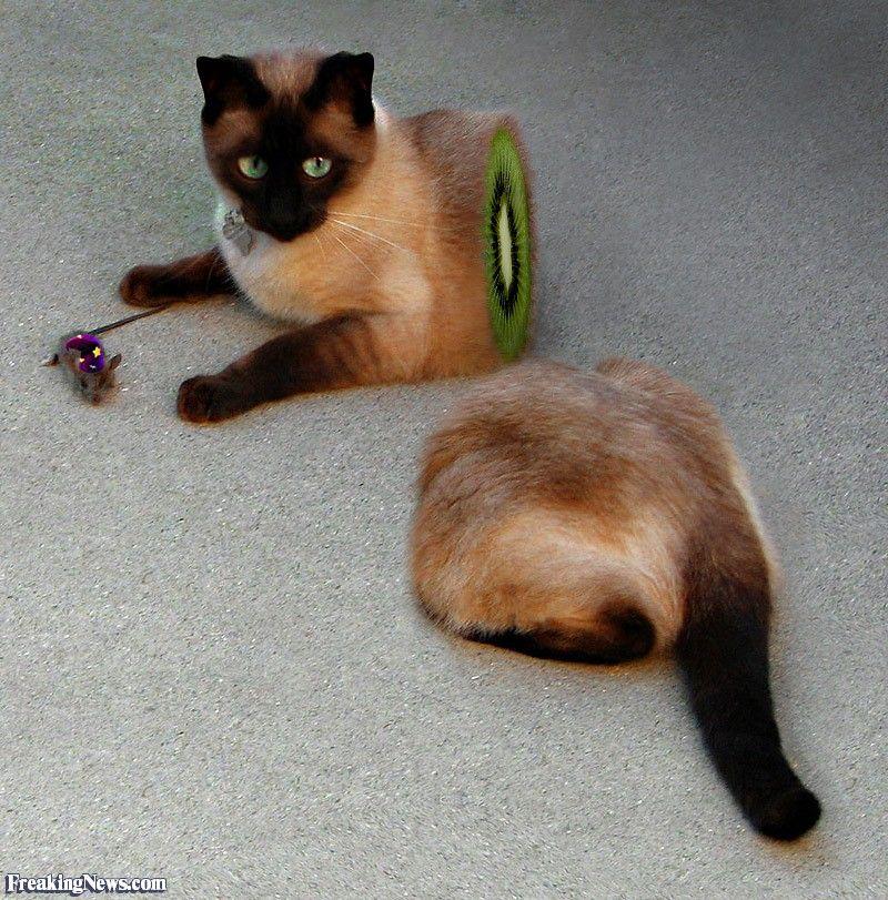 Siamese Cat Sliced in Half