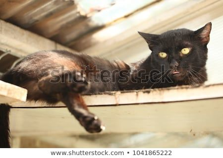 animal shelter detail funny black skinny cat with green eyes lies down on an old