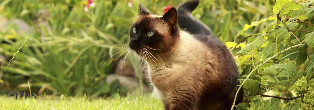 siamese cat outdoors