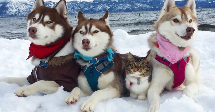 3 Huskies Be e Best Friends With A Cat After Saving It From Dying