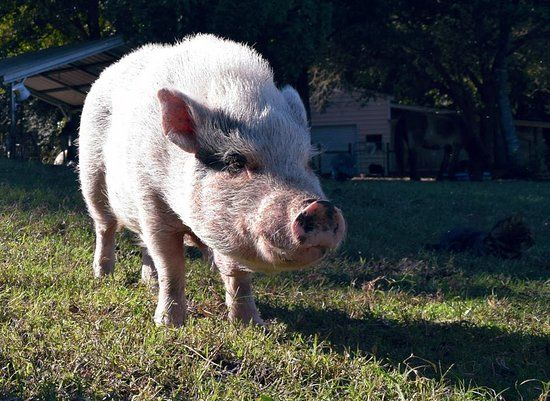 Rooterville A Sanctuary Inc Pigs at peace