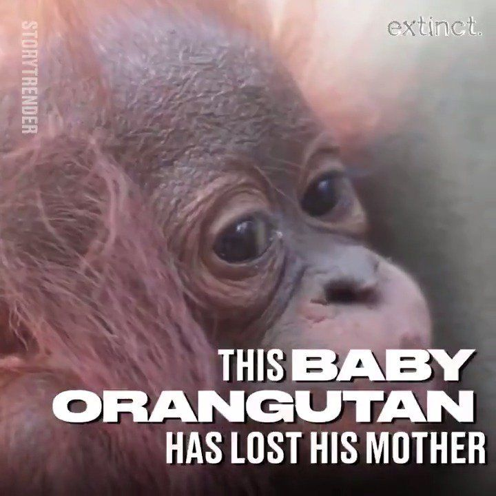 "Uživatel LADbible na Twitteru ""Deforestation is leaving Borneo s orangutans orphaned and without homes This needs to end Read more about our Extinct"
