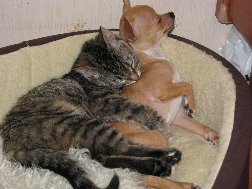 Chihuahua Elli with cat