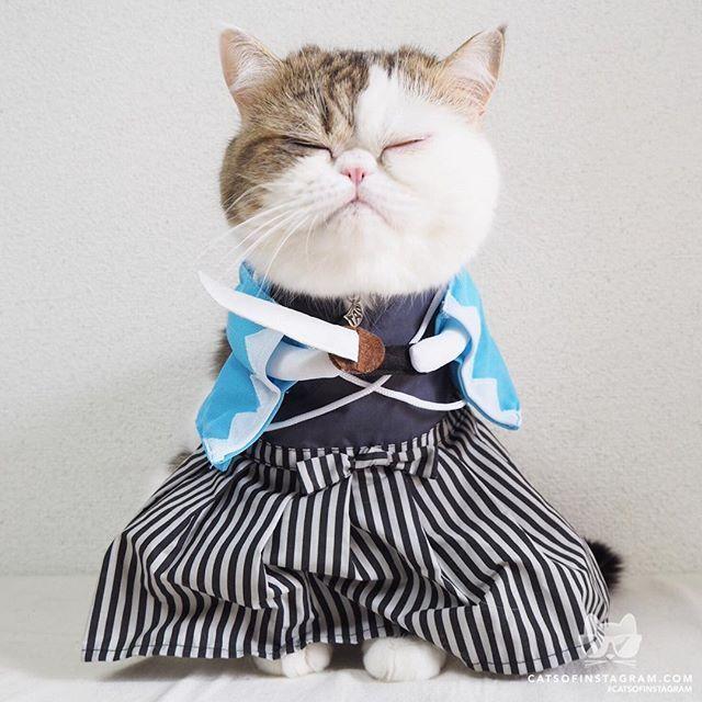 "From ptottoa ""SAMURAI"" catsofinstagram Funny Cats Funny Cat s"