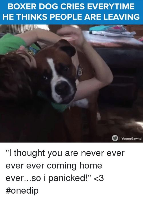Memes Boxer and ing Home BOXER DOG CRIES EVERYTIME HE THINKS PEOPLE ARE