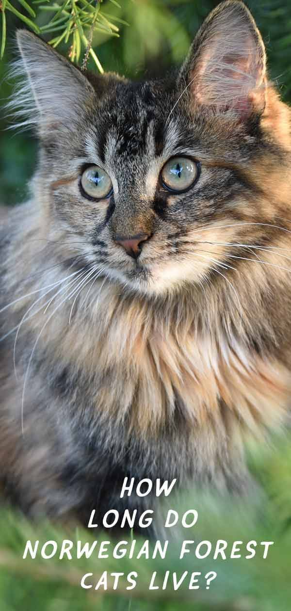 Norwegian forest cat lifespan Cat breed information from the Happy Cat Site CatSite