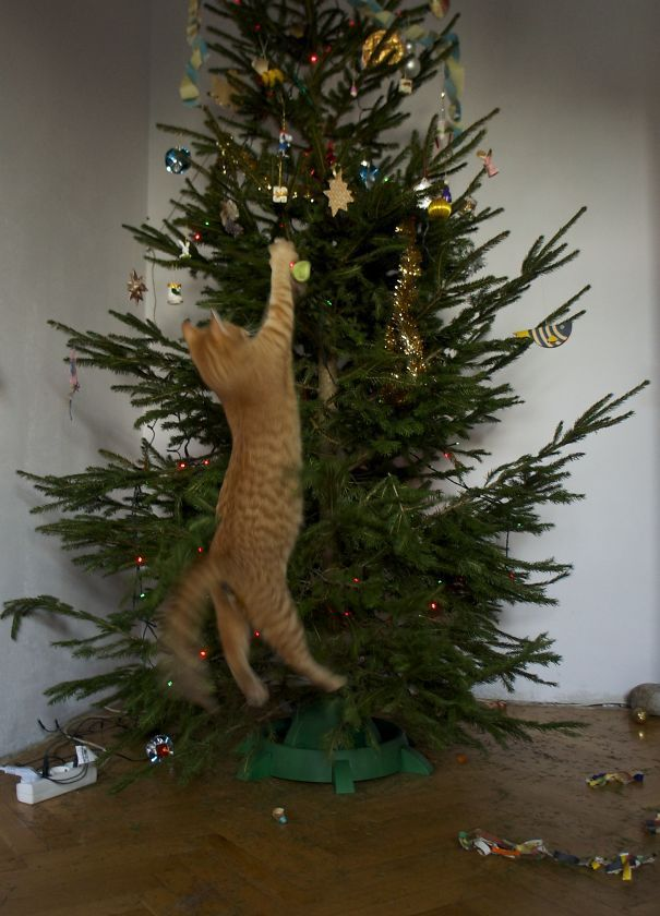 Undressing The Christmas Tree Undressing The Christmas Tree Funny Cat