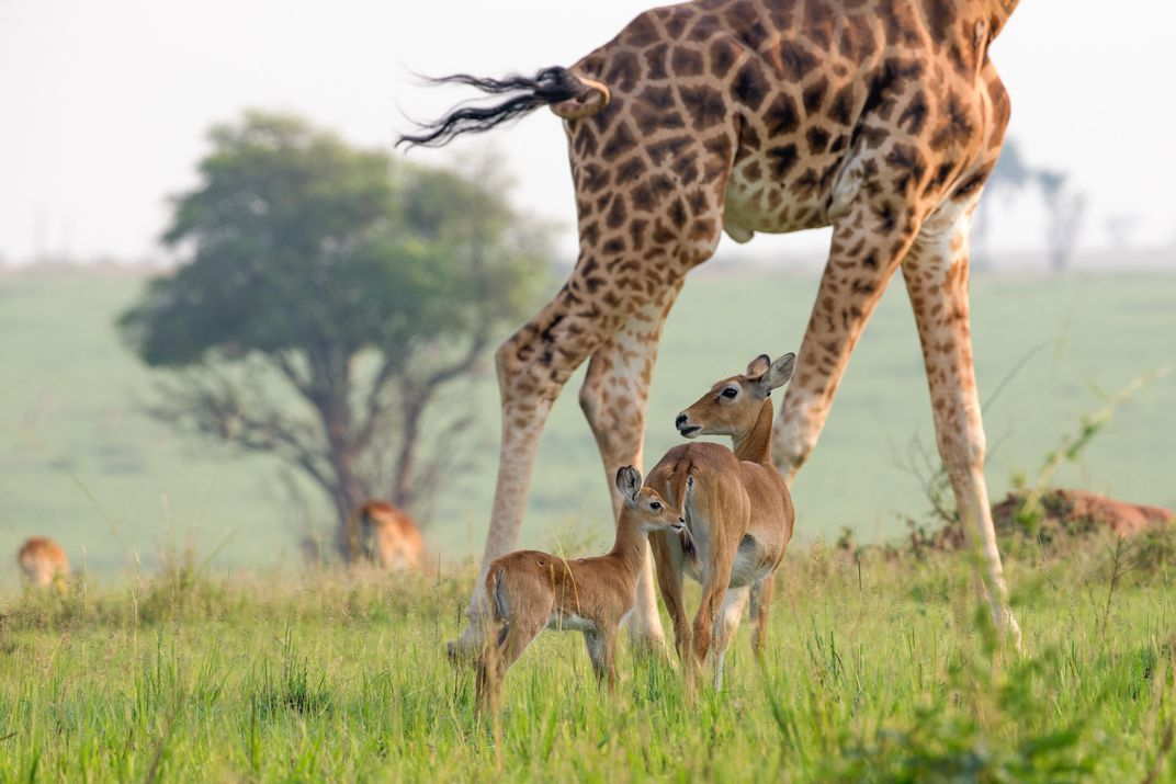 A male Rothschild s giraffe which can grow as tall as 20 feet towers over a female Uganda Kob calf at Murchison Falls National Park Melissa Groo