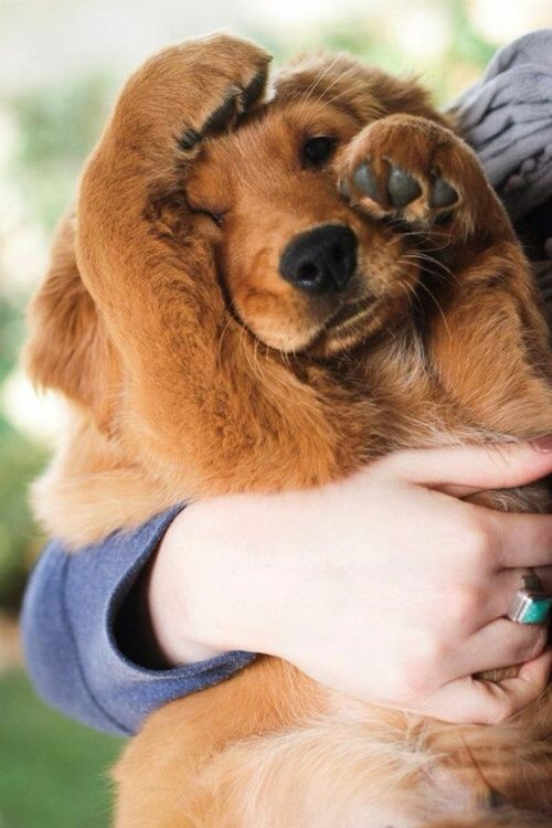 Our Red Golden Retriever Puppy Bourbon Hiding From The Camera Cutest Paw on imgfave