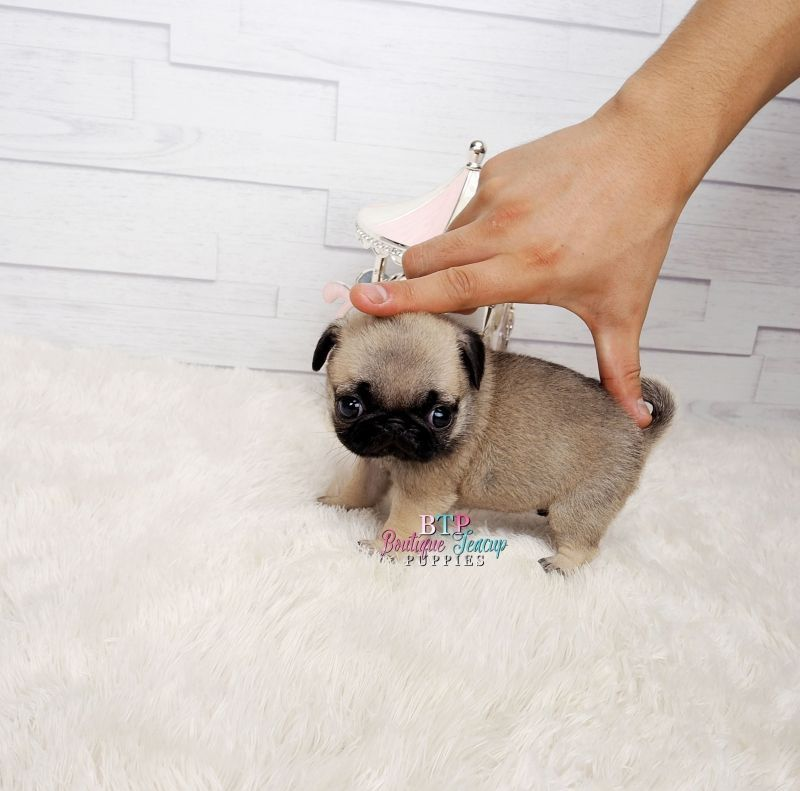 mini pug micro pug teacup pug teacup pug puppies for sale teacup pug breeders teacup breeders