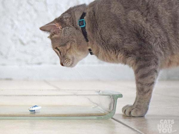 gray tabby cat looks at robotic insect