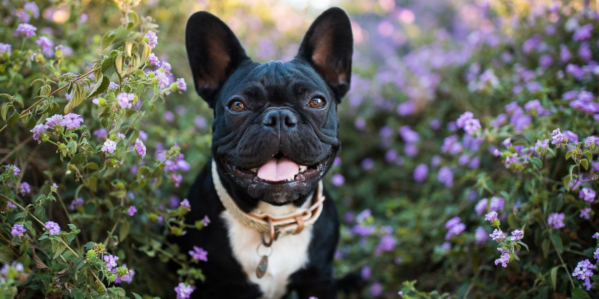 happy french bulldog in flowers outdoors royalty free image