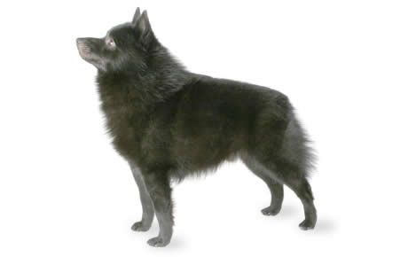 Schipperke Dog Breed Information Characteristics & Facts – Dogtime