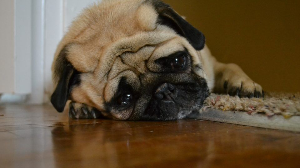 Dog Diarrhea Why it Happens and How to Help