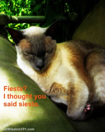 funny cat fiesta siesta siamese napping