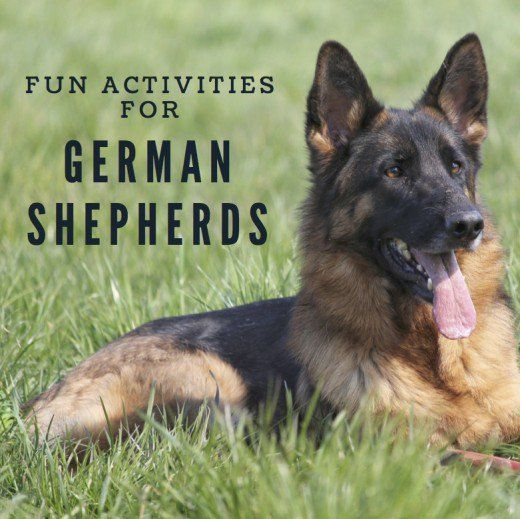 German Shepherds are happiest when kept busy