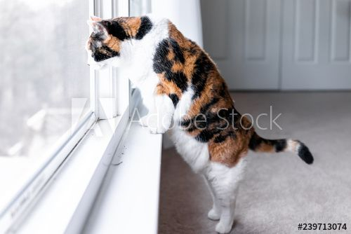 Funny one calico cat closeup leaning on windowsill window sill standing on hind legs trick watching smart between curtains blinds outside