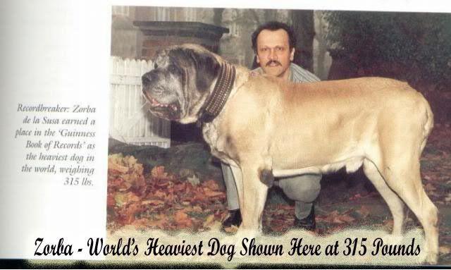 English Mastiff Heaviest Dog in the World heaviestdog guinnessworldrecord englishmastiff Zorba