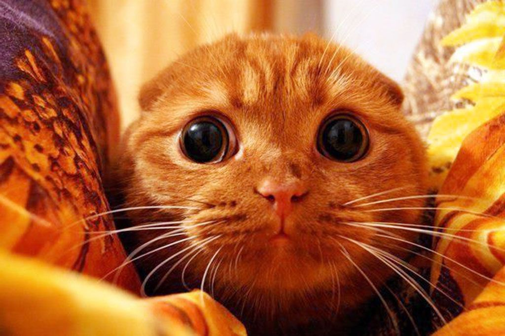 Real Life Puss From Shrek Cat Picture Picture in Funny Cat