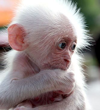 Adorable Baby Albino Monkey Monkey Animal Cute Baby Animals Funny Animals