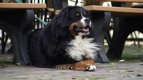 Bernese Mountain Dog waiting for its owner