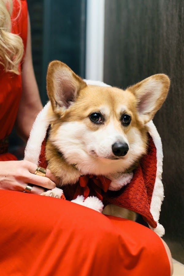 A Red Dress Holiday Mrs Clause Paws Happy New Years Eve love Little Miss Lady Bird Corgilicious Corgi Pets & Animals