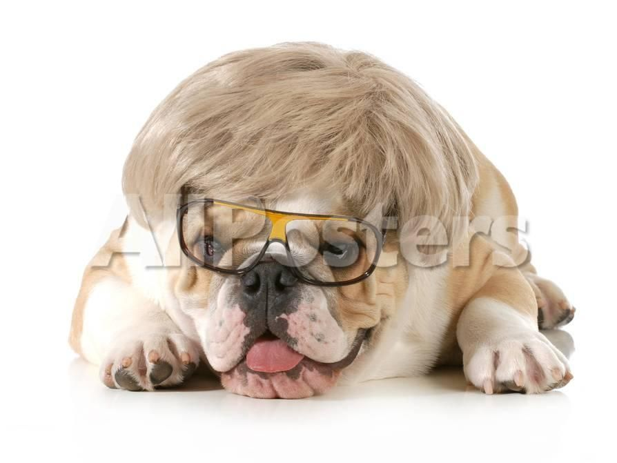 Funny Dog English Bulldog Wearing Silly Wig And Glasses Isolated White Background graphic Print by Willee Cole at AllPosters
