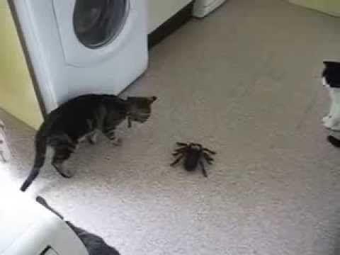 Funny Cat vs Big Spider