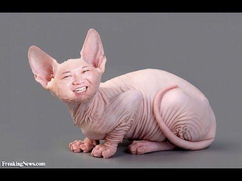 Funny sphynx cat