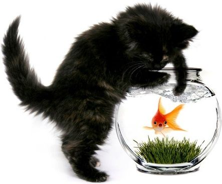 a cat and a goldfish 02 hd pictures