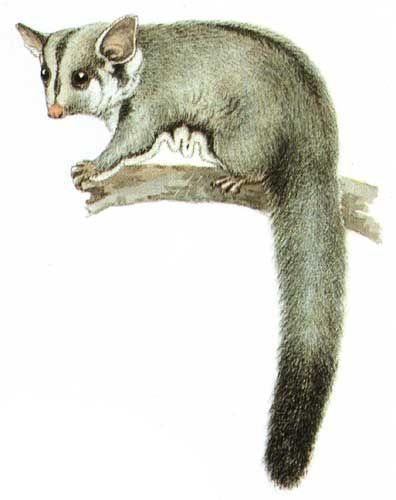 Petaurus breviceps Cayley