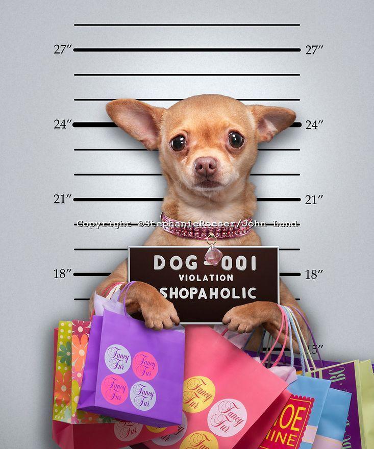 Funny Chihuahua Mug Shot