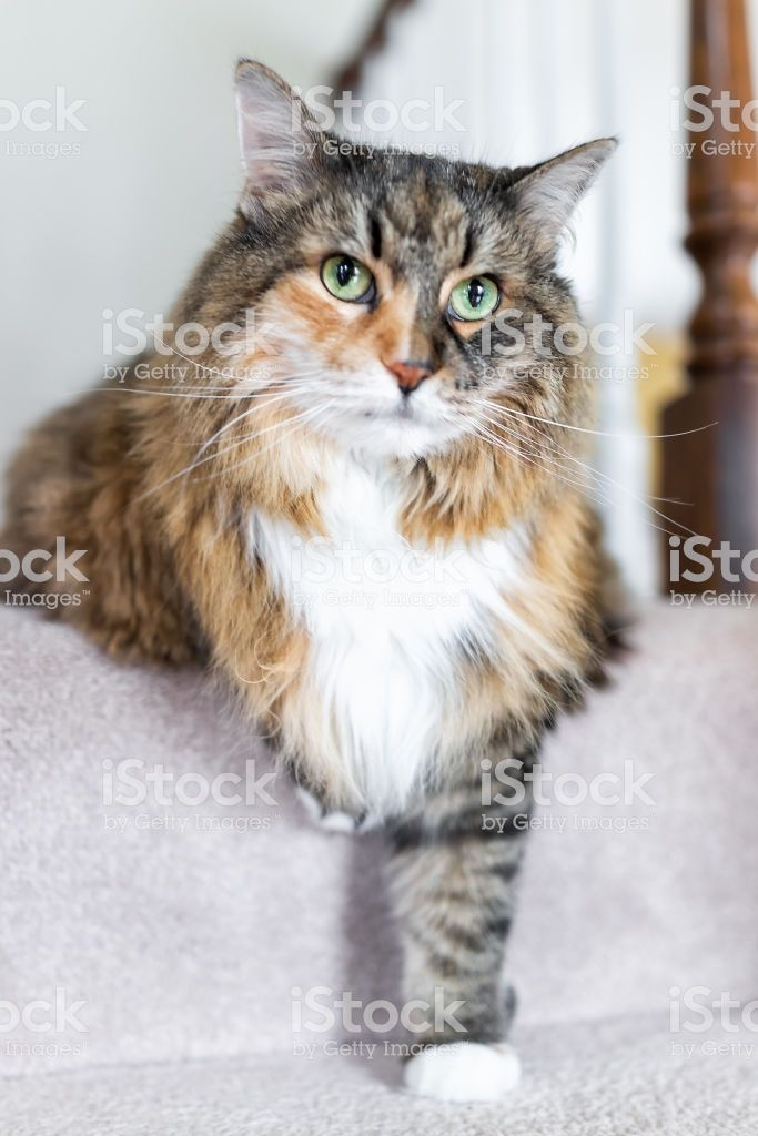 Vertical closeup of Maine Coon calico cat funny resting one paw on carpet floor steps indoors