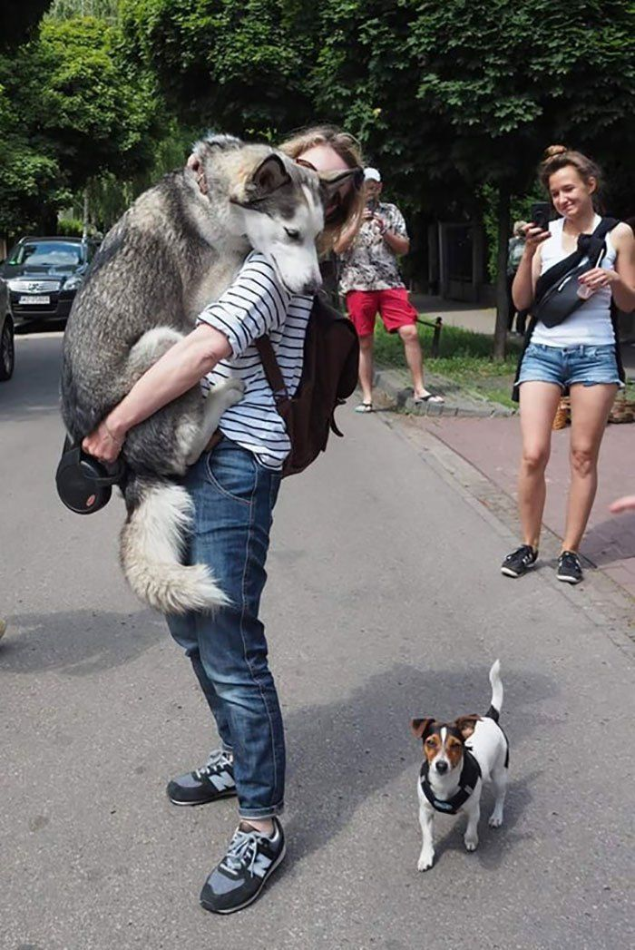 10 Reasons Huskies Are The Weirdest Dogs In The World Funny animal situations