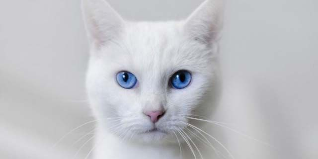 White Cat Names – 75 Awesome Names for Your White Cat