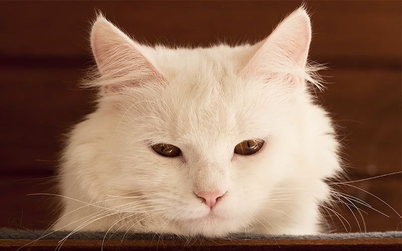 Names For White Cats Our Top 100 White Cat Names