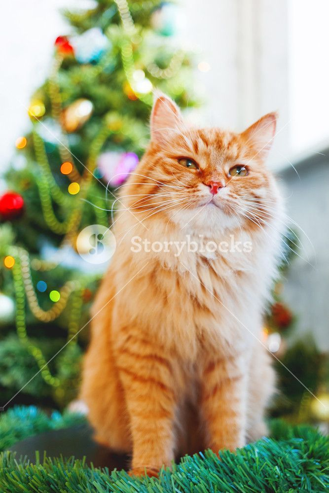 Cute ginger cat and New Year Fluffy funny pet sits in front of decorated Christmas