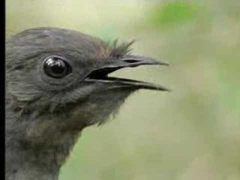 Bird Sounds From The Lyre Bird David Attenborough BBC Wildlife