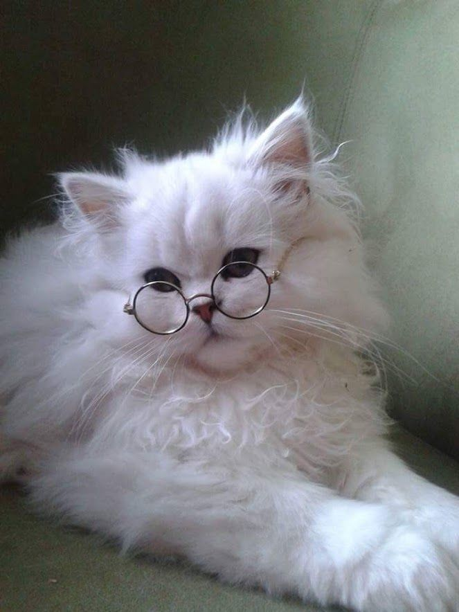 "Just a fluffy white ""Harry Potter"" kitty So cute Cats In"