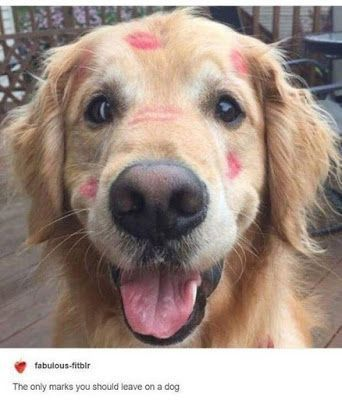 Golden Retrievers Golden Retriever Dog Retriever Puppies Labrador Retrievers Dog Kiss