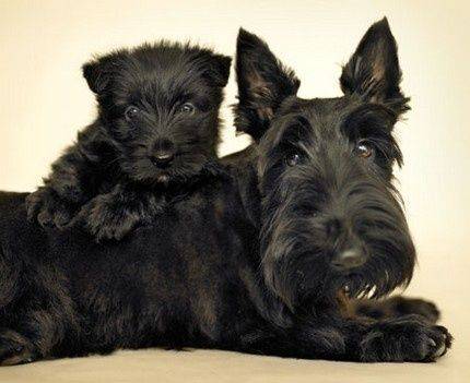 Another smile for Scotties Scottish Terrier breed dogs