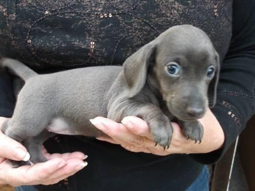 """A true """"blue"""" weenie dog puppy"""
