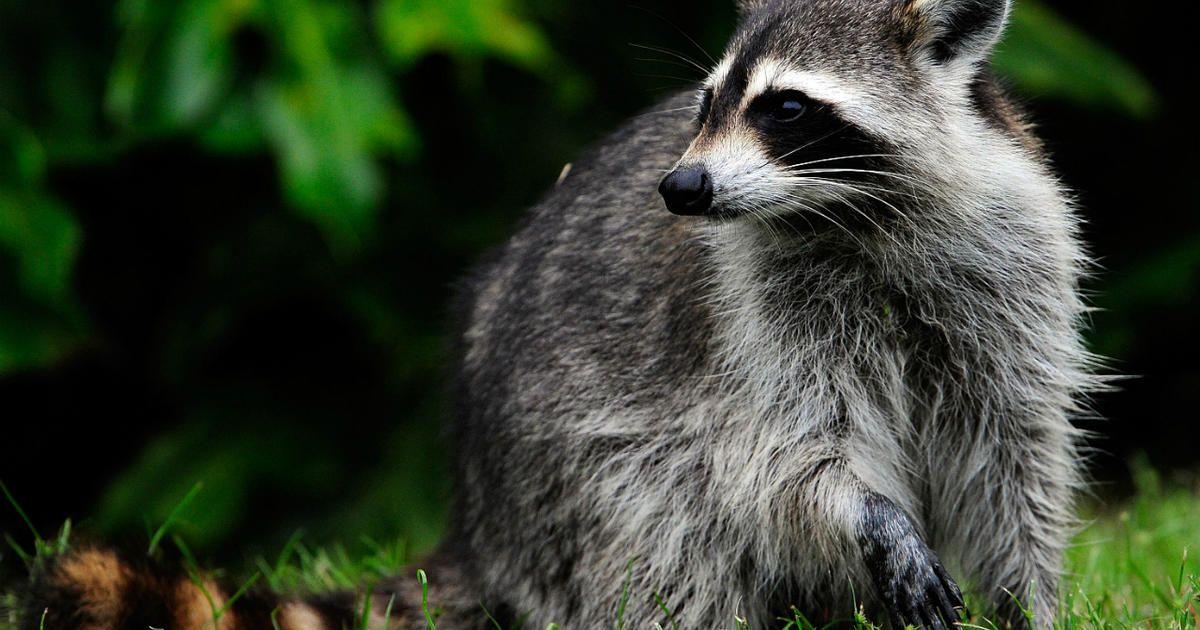 """""""Zombie like"""" raccoons Police probe calls about raccoons acting strangely in daytime CBS News"""