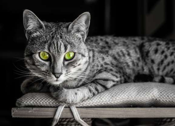 Slide 4 of 21 Black and White image of an Egyptian Mau cat with startling
