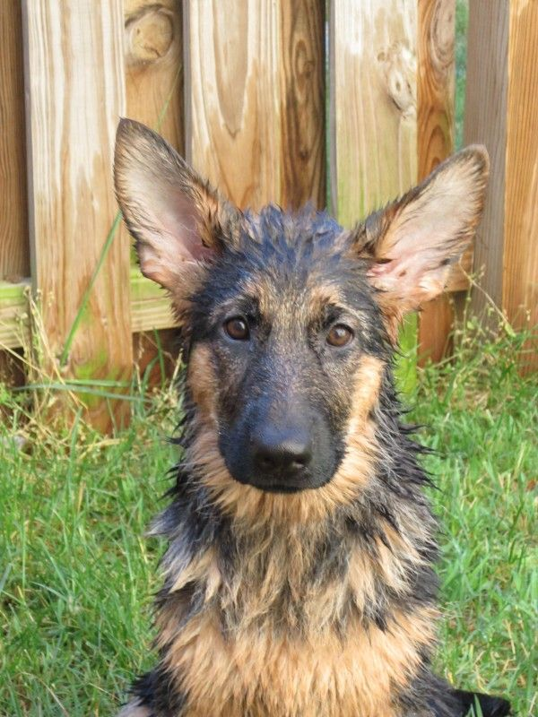 The attached picture is of Reagan a German Shepherd Dog who absolutely loves water She loves to swim and in front of the garden hose in the backyard