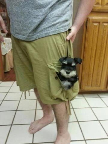 Schnauzer puppy transport