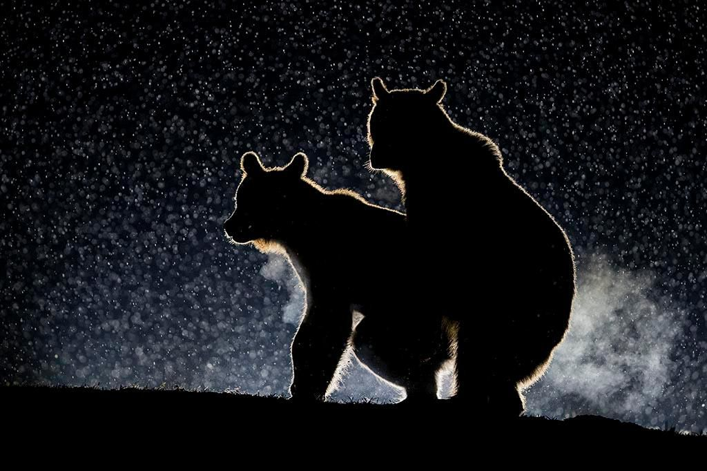 Two bears are caught in the act in this highly mended image Bence Mate edy Wildlife Awards
