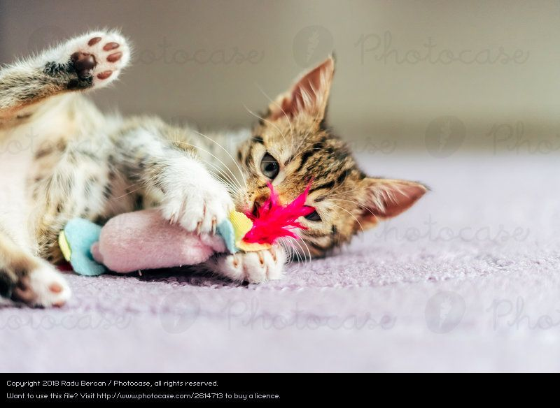 Cute Baby Cat Playing At Home a Royalty Free Stock from case