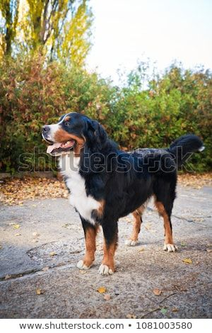 Bernese mountain dog walking in an autumn park stands on the sidewalk and looks at